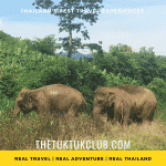 Two elephants walking through grassland in the mountains of Northern Thailand