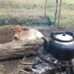 A kettle over a campfire with a calf looking on